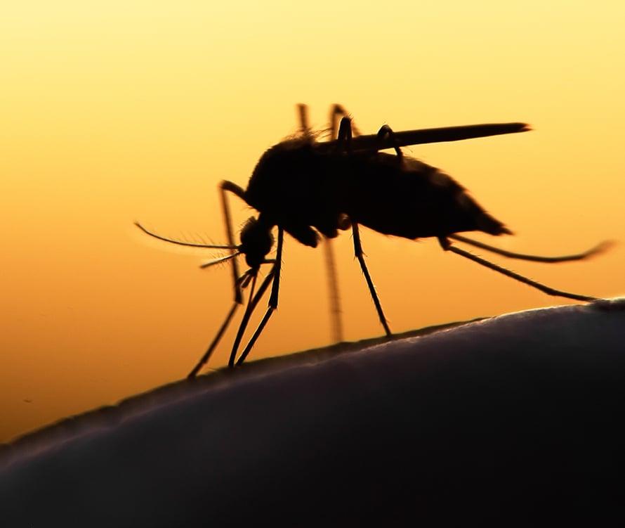 hyttysenpisot, ihoreaktio, tooppinen tauti