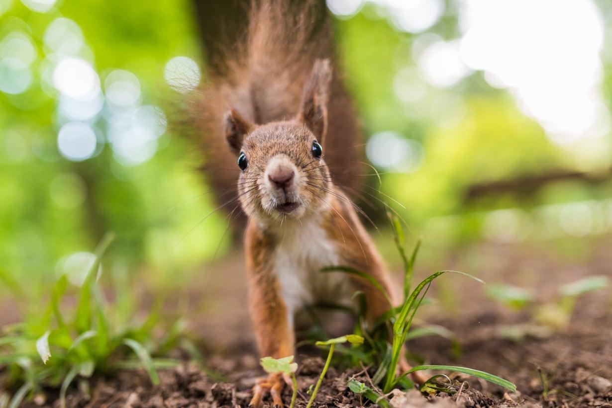 Aina voi pyytää hätiin vaikka oravan. Kuva: iStockphoto